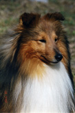 sheltie-graf.ru. Melveen Making Tracks For Blenmerrow