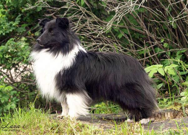 Мраморный окрас (мерль) - Генетика окрасов собак